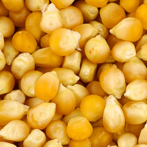 Yellow corn(Maize)